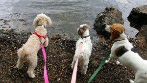 dog walking, pet sitting, dog socialization