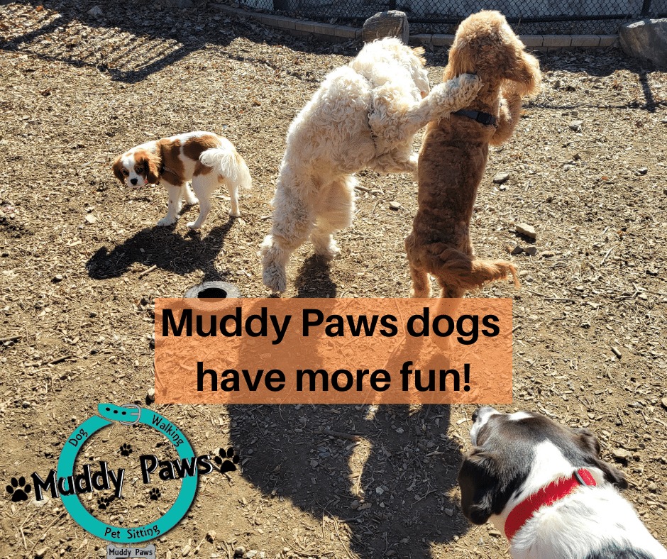 muddy paws dog walking and pet sitting is the best dog walking company that provides a variety of dog walking options to exercise and socialize your pup